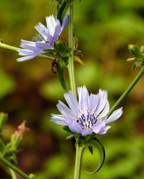 Cikorie - Cichorium intybus