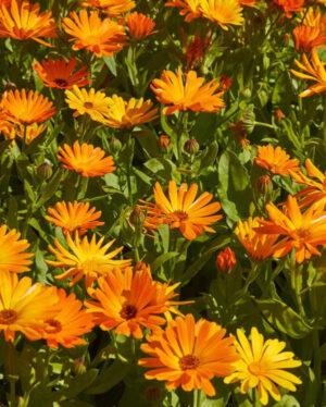 Morgenfrue - Calendula officinalis